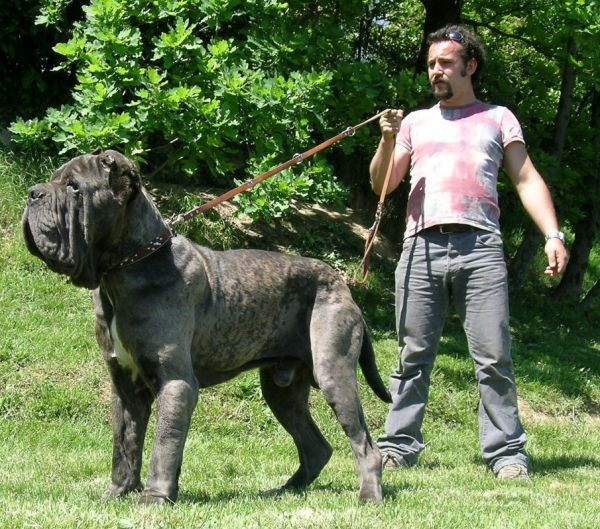 Biggest dog breed